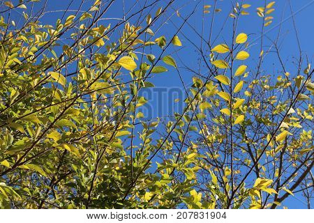The willow tree with the yellow leaves in front of the blue sky , background.The willow tree with the yellow leaves in front of the blue sky
