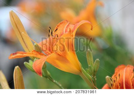 Lilies are tall perennials ranging in height from 2-6 ft (60-180 cm)