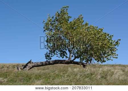 Lone damaged tree trunk on hill with branches growing upward from new trunk growing off to the side