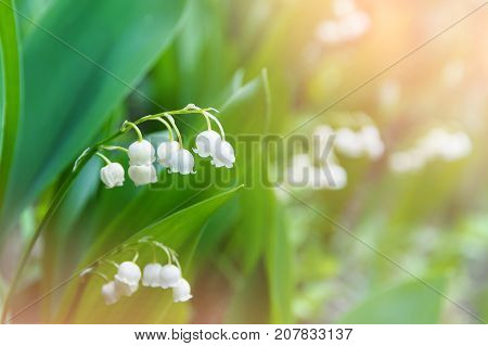 Natural background with beautiful blossoming lilies of the valley