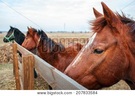 Horses On A Farm Behind A Wooden Fence , Herd Of Horse In The Farm