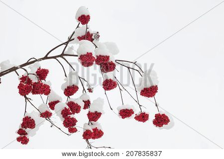 Branch with bunches of rowan berries under snow in the winter snowfall in the city. First snow, snow flakes falling.