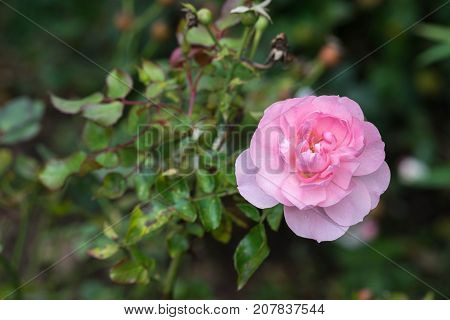 the Mayflower rose, Austilly, close up on a green park background in autumn.