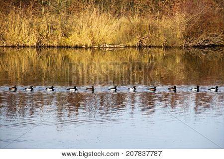 Tufted Ducks (Aythya fuligula) swim in a queuer