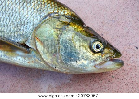 Asp fish - Aspius Aspius. Fishing catch of predatory fish.