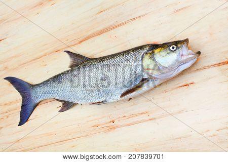 Asp fish - Aspius Aspius. Fishing catch of predatory fish.