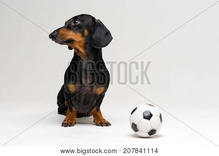 funny portrait of a dog (puppy) breed dachshund black tan with soccer (football) ball on gray background