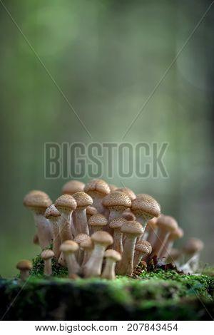 Autumn mushrooms (Armillaria mellea) on a rotten stump. Space blank