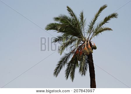 Date palm tree on a light blue sky background