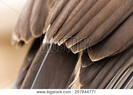 Close Up Feathers/Wings Texture of Harris Hawk in Captivity, Falconry