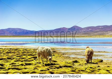 View on Llama by mountain lagoon in the Altiplano in Bolivia