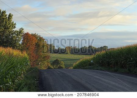 A road between two cornfields with a field and trees in the background.