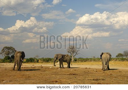 three African Elephants Savuti National Park Botswana