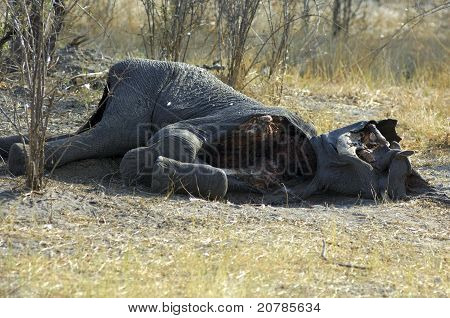 Bag of an elephant hunted by lions