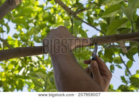A person performs a Grafting of plant branch in  lemon