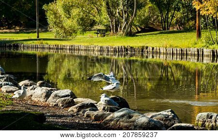 Mew Gulls line the water's edge at a local park on a sunny autumn day.