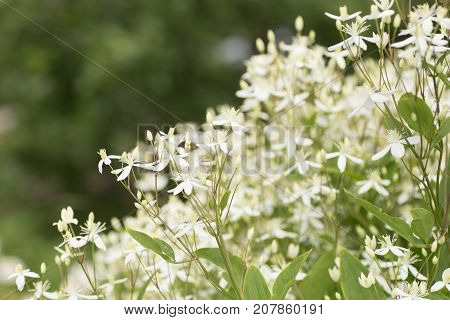 Decorative Bush With White Flowers On Sunset. Clematis.