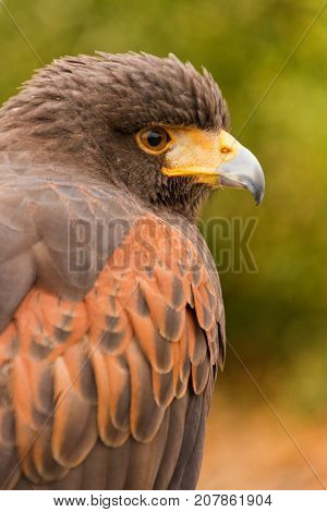 Close Up Upper Body Head Side View of Harris Hawk in Captivity, Falconry