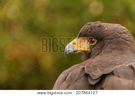 Close Up Head Side View of Harris Hawk in Captivity, Falconry