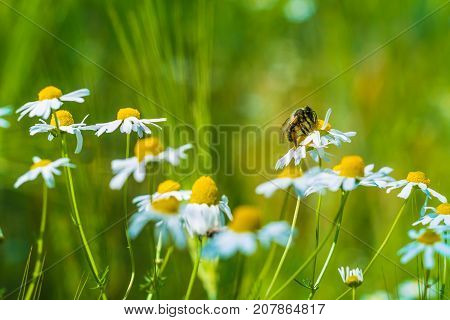 Bee on wild camomile flower on meadow and wheat.