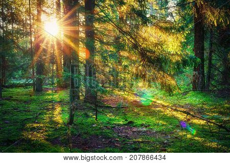Sunbeams in green forest. Sunny forest nature. Sunlight through trees. Autumn forest landscape in the morning on sunrise