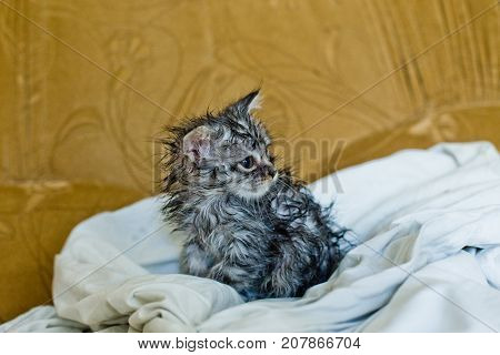 Wet soggy scared kitten after bath. Animal hygiene. Destruction of parasites. Treatment from fleas.