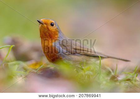 European Red Robin In Autumnal Garden Lawn