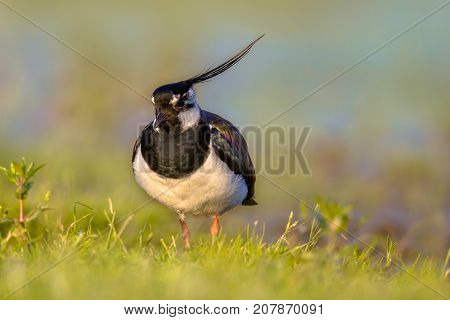 Northern Lapwing In Grassland Habitat With Warm Colors