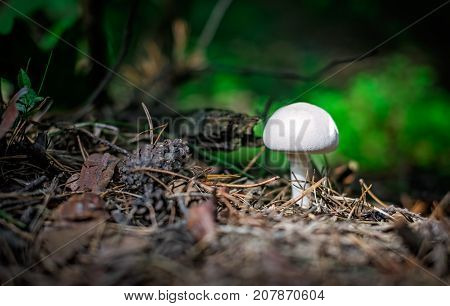 Beautiful small white mushroom on the forest floor