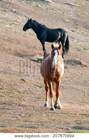 Wild Horses - Bay Stallion with blaze on head and Black Stallion in the background in the Pryor Mountains Wild Horse Range in Montana United States