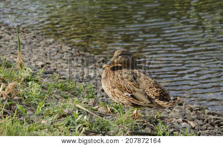 Beautiful wild duck sitting on the shore of a pond birds of the wild