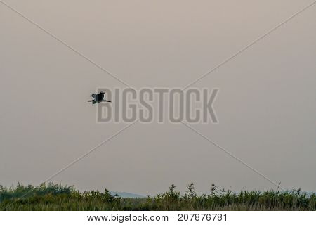 Gray Heron Flying Over A Grassy Wetland