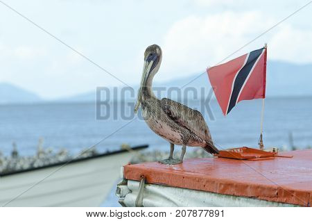 Juvenile Brown Pelican (Pelecanus occidentalis occidentalis) flying the flag for Trinidad on a boat in the Gulf of Paria.