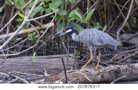 Yellow-crowned Night Heron (Nyctanassa violacea cayennensis) eating a Fiddler Crab in Caroni Trinidad.
