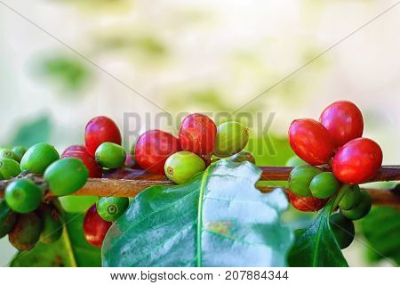 Close up of cherry coffee beans on the branch of coffee plant before harvesting.