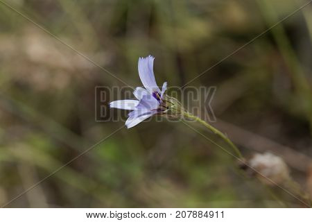 Catananche Bleue (catananche Caerulea)