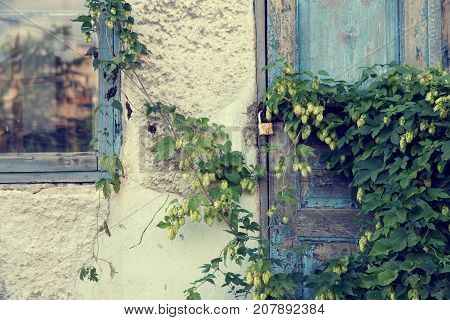 Old abandoned house overgrown with green hops.
