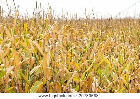 Tall Corn Stalks In Golden Farm Field Ready For Harvest