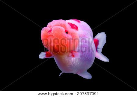 Lionhead goldfish isolated in a white background