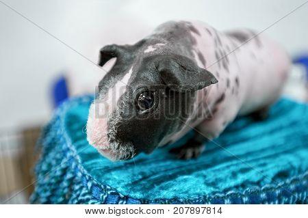 Skinny breed of guinea pig on blue velvet cushion close-up