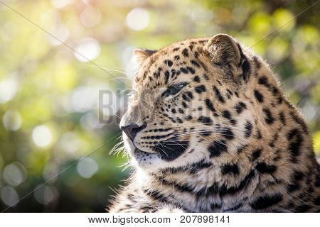 Young adult Amur Leopard. A species of leopard indigenous to southeastern Russia and northeast China, and listed as Critically Endangered. Space for text.
