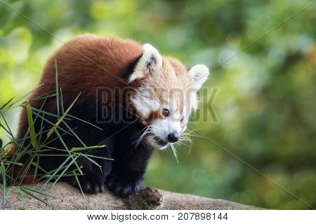 Red panda, also known as the lesser panda, firefox or cat-bear, in the branches of a tree. This creature is indigenous to the Himalayas and China.