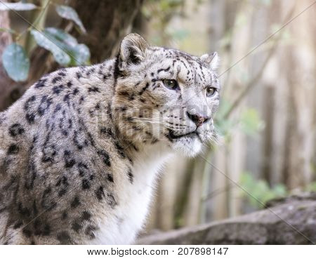 Watchful and alert adult snow leopard