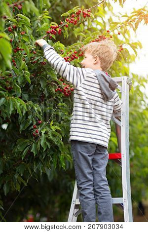 cheerful positive boy standing at the ladder enjoying spring family activity picking cherry berries from the tree during u-pick season at the farm