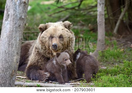 Brown bear with two cubs in forest