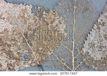 Transparent Skeleton Dry Leaves On Grey Background