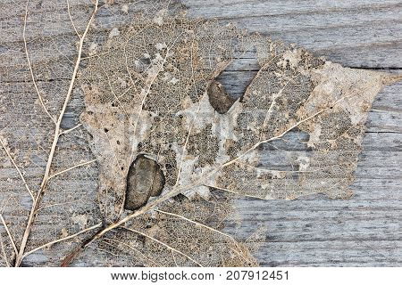Autumnal Dry Leaf On Wooden Background. Detailed View Of Dried Leaf Skeleton.