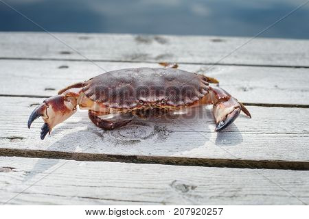 alive crab standing on wooden floor. outdoor shot in norway. copy space.