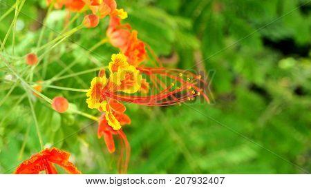Panicle ofCaesalpinia pulcherrima red and yellow flower background blur in Thailand.