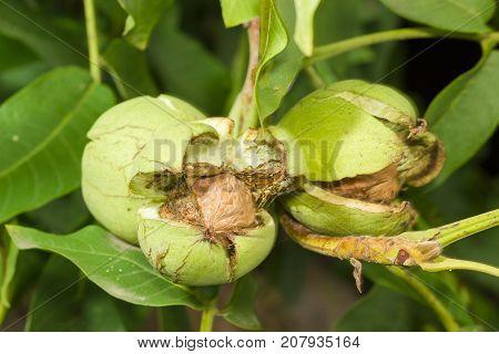 Three ripe walnuts inside their cracked green husks on walnut tree in an orchard